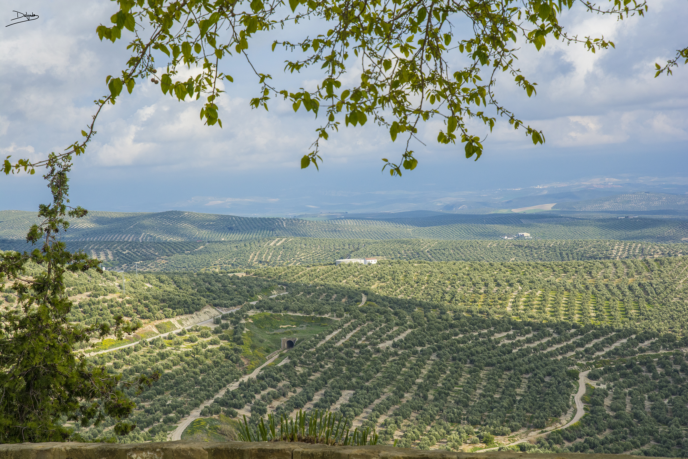 Foto del día: «viejos olivos sedientos bajo el claro sol del día».